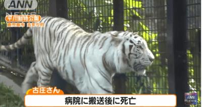 古庄晃(飼育員) ホワイトタイガー襲われ死亡!トラは殺処分される?事故現場はどこ?原因は?【鹿児島市 平川動物公園】
